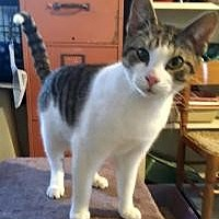 Domestic Shorthair Kitten for adoption in Franklin, West Virginia - Catnip LAP CAT