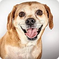 Adopt A Pet :: Bridget - New York, NY