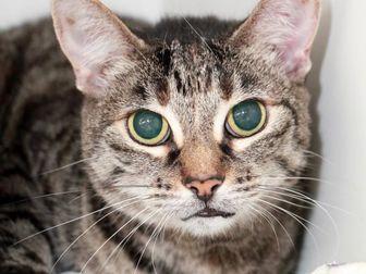 Domestic Shorthair Cat for adoption in Camarillo, California - MADIE