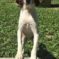 Hound (Unknown Type) Mix Dog for adoption in Ashland, Virginia - Muddy