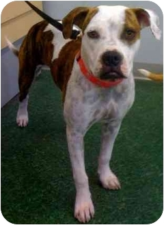 Pit Bull Terrier/Boxer Mix Puppy for adoption in Fowler, California - Abby
