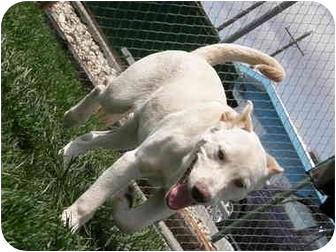 Labrador Retriever Mix Puppy for adoption in Meridian, Idaho - Stitch