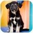 Photo 1 - Border Collie/German Shepherd Dog Mix Puppy for adoption in Portland, Oregon - Ariel