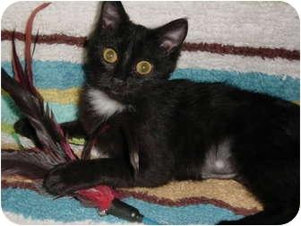 Domestic Mediumhair Kitten for adoption in DeKalb, Illinois - Harlow