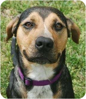 Hound (Unknown Type)/Labrador Retriever Mix Dog for adoption in Windham, New Hampshire - Lacey