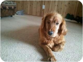 Golden Retriever Dog for adoption in Denver, Colorado - Sunny