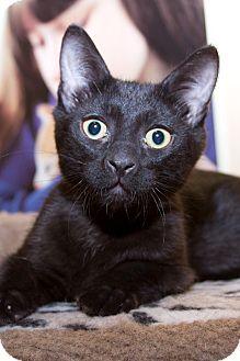 Domestic Shorthair Kitten for adoption in Irvine, California - Binks