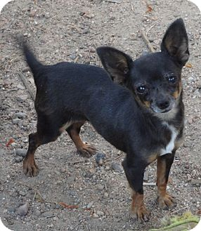 Chihuahua Dog for adoption in Goodland, Kansas - Itty Bitty