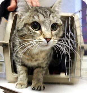 Domestic Mediumhair Kitten for adoption in Alexandria, Virginia - Skeeter