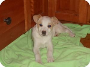 Boston Terrier/Labrador Retriever Mix Puppy for adoption in Marlton, New Jersey - Gigi