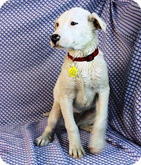 """Labrador Retriever Mix Puppy for adoption in Westminster, Colorado - Bismark Sea """"Busy"""""""