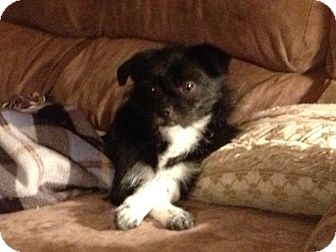 Havanese Mix Puppy for adoption in Hagerstown, Maryland - Muse
