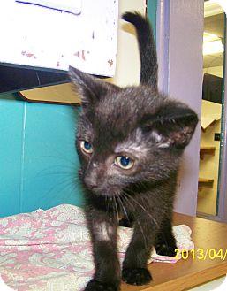 Domestic Shorthair Kitten for adoption in Dover, Ohio - Kiki