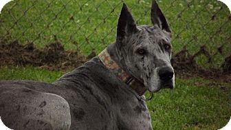 Great Dane Dog for adoption in Phoenixville, Pennsylvania - Andi