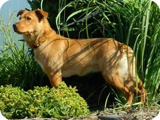 Terrier (Unknown Type, Small) Mix Dog for adoption in Columbus, Nebraska - Goldie
