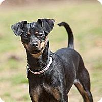 Adopt A Pet :: Belle - Rockaway, NJ