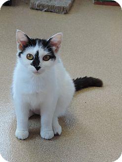 Domestic Shorthair Cat for adoption in Brookings, South Dakota - Kiara