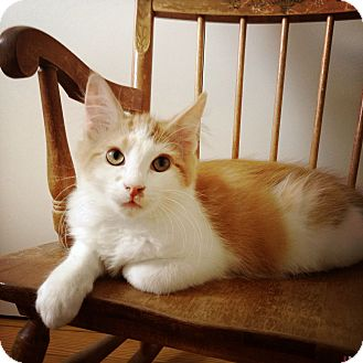 Domestic Longhair Kitten for adoption in Lombard, Illinois - Tuscany