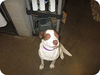 Collie Mix Dog for adoption in Collinsville, Oklahoma - Bandit1