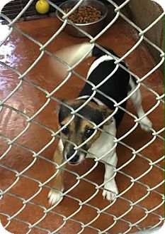 Parson Russell Terrier Puppy for adoption in Baltimore, Maryland - Skipper