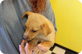 Australian Cattle Dog Puppy for adoption in Phoenix, Arizona - Jill