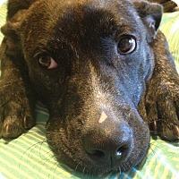 Adopt A Pet :: Lilah - Austin, TX