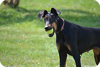 Doberman Pinscher Mix Dog for adoption in Lake Odessa, Michigan - Jude