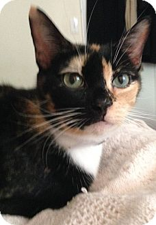 Calico Cat for adoption in NEW YORK, New York - Lola (I'm Dog Friendly!)