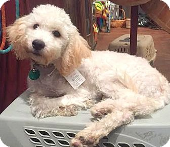 Poodle (Miniature)/Maltese Mix Puppy for adoption in Boulder, Colorado - Lainie-ADOPTION PENDING
