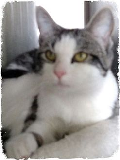 Domestic Shorthair Cat for adoption in Pueblo West, Colorado - Yuuki