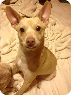 Chihuahua/Corgi Mix Dog for adoption in San Diego, California - Penny