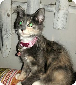 Domestic Mediumhair Kitten for adoption in Washington, North Carolina - FELICITY FLOOF