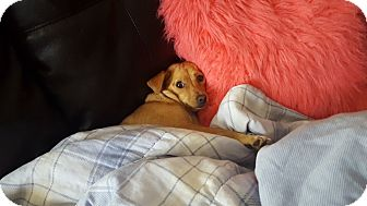Chihuahua Mix Dog for adoption in Spring Valley, New York - Shelly (rbf)