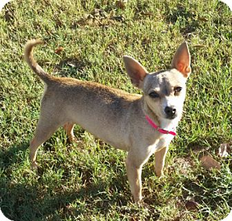 Chihuahua Mix Dog for adoption in Cat Spring, Texas - Nadia