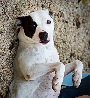 American Bulldog Dog for adoption in Stevensville, Maryland - Fancy