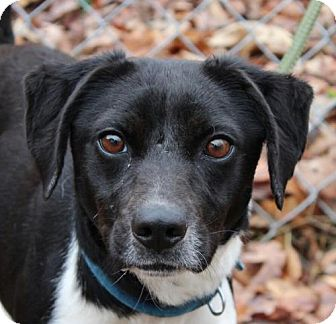 Pointer Mix Dog for adoption in Washington, D.C. - Titana