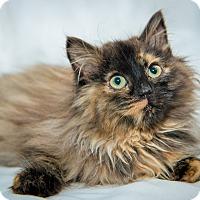 Adopt A Pet :: Aphrodite - New York, NY