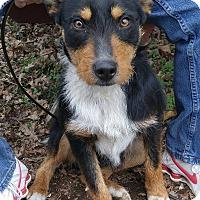 Adopt A Pet :: Bear - Bryson City, NC