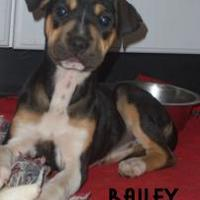 Adopt A Pet :: BAILEY - Franklin, NC