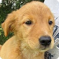 Adopt A Pet :: Sunshine - Germantown, MD