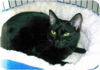 Domestic Shorthair Cat for adoption in Medway, Massachusetts - Minnie