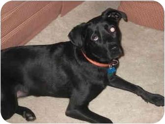 Labrador Retriever Mix Dog for adoption in Spencer, Ohio - Max