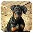 Photo 2 - Doberman Pinscher Dog for adoption in Greensboro, North Carolina - Cassie