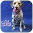 Photo 4 - Dalmatian Dog for adoption in Mandeville Canyon, California - Lila