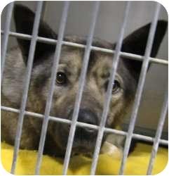 Norwegian Elkhound Mix Dog for adoption in Kansas City, Missouri - A12781792