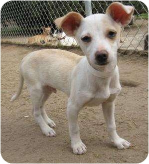 Chihuahua/Terrier (Unknown Type, Small) Mix Dog for adoption in Edmonton, Alberta - Parker