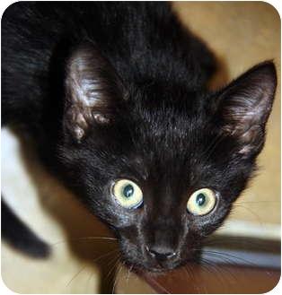 Domestic Shorthair Kitten for adoption in Atlanta, Georgia - Linus