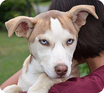 Husky Mix Dog for adoption in Allentown, Pennsylvania - Angel