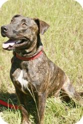 Plott Hound/American Pit Bull Terrier Mix Dog for adoption in Conway, Arkansas - Tyson