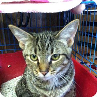 Domestic Shorthair Kitten for adoption in Hamburg, New York - Nala